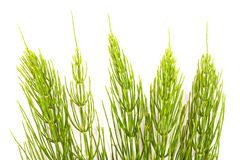Field Horsetail. On White Background Royalty Free Stock Photo