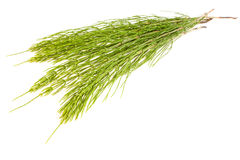 Field Horsetail. On White Background Royalty Free Stock Photography