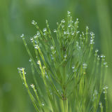 Field Horsetail in dew Royalty Free Stock Photos