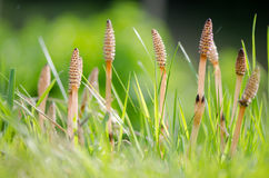 Field horsetail (Equisetum arvense) fertile stems. Fertile stems on this plant in the family Equisetaceae, growing amongst grass in the UK royalty free stock photos