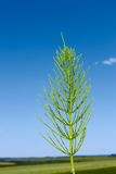 Field horsetail plant Stock Images