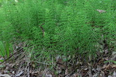 Field Horsetail plants Stock Photo