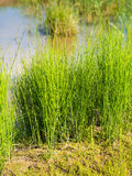 Field horsetail on the waterfront from close Royalty Free Stock Image