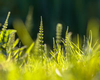 Field horsetail weed Stock Images