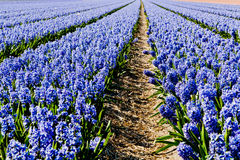 Field of hyacinth. Stock Photos