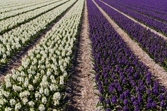 Field of hyacinth. Royalty Free Stock Photos