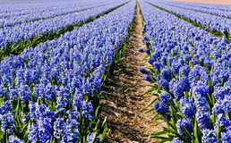 Field of hyacinth. Stock Photo