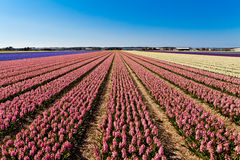 Field of hyacinth. Royalty Free Stock Images