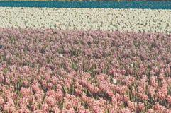 Field of hyacinth Stock Photo