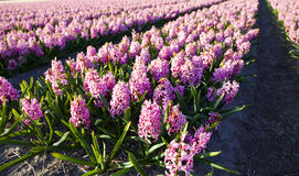 Field of hyacinths Stock Photo