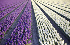 Field of hyacinths Stock Images