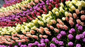The field of hyacinths. The blooming field of hyacinths Stock Images