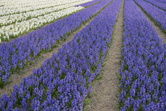 Field with hyacinths Stock Photo