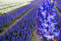 Field with hyacinths Stock Image