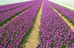 Field with hyacinths Stock Photos