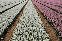 Field with hyacinths Royalty Free Stock Photography