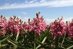 Field of hyacinths Royalty Free Stock Images