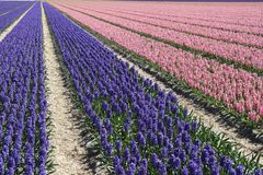 Field of hyacinths Royalty Free Stock Photos