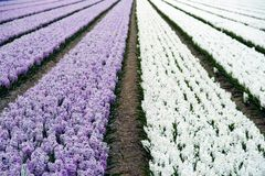 Field of hyacinths in purple and white Stock Photos