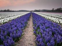 Field of hyacinths under evening light Stock Photos