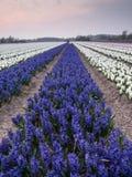 Field of hyacinths under evening light Stock Photo