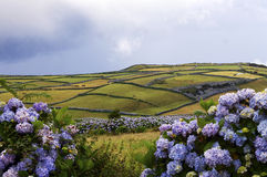 Field and hydrangeas in the Faial island