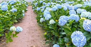 Field hydrangeas with hundreds flowers blooming all hills beautiful winter morning. This is a place to visit ecological tourist garden attracts other tourism Royalty Free Stock Photos