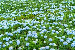 Field hydrangeas with hundreds flowers blooming all hills beautiful winter morning. This is a place to visit ecological tourist garden attracts other tourism Stock Photo