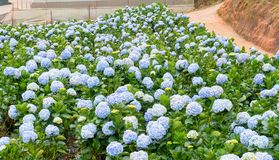 Field hydrangeas with hundreds flowers blooming all hills beautiful winter morning. This is a place to visit ecological tourist garden attracts other tourism Stock Image