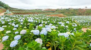 Field hydrangeas with hundreds flowers blooming all hills beautiful winter morning. This is a place to visit ecological tourist garden attracts other tourism Stock Images