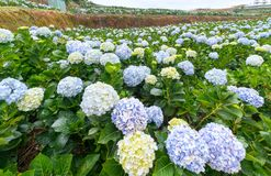 Field hydrangeas with hundreds flowers blooming all hills beautiful winter morning. This is a place to visit ecological tourist garden attracts other tourism Royalty Free Stock Photography