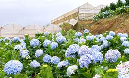 Field hydrangeas with hundreds flowers blooming all hills beautiful winter morning. This is a place to visit ecological tourist garden attracts other tourism Royalty Free Stock Photo