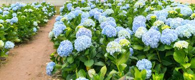 Field hydrangeas with hundreds flowers blooming all hills beautiful winter morning. This is a place to visit ecological tourist garden attracts other tourism Stock Photos