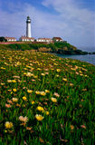 Field of ice plant flowers at Pigeon Point Stock Photo