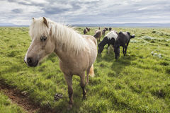 A field of Icelandic horses Royalty Free Stock Image