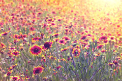 Field of Indian Blanket flowers Stock Photography