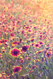 Field of Indian Blanket flowers. Field or meadow of tall natural wild pink and yellow Indian Blanket firewheel flowers blooming with vintage retro filter Stock Images