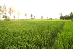 Rice field in indian villages of the maharashtra royalty free stock photo