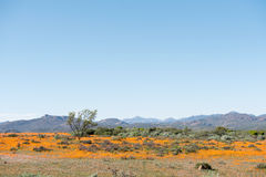 Field of indigenous orange daisies Royalty Free Stock Images