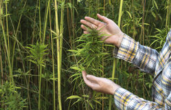 Field of industrial hemp. Royalty Free Stock Image