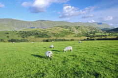 A Field in Ireland with Grazing Sheep stock photography
