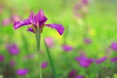 Field of iris flowers Royalty Free Stock Photos