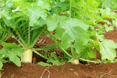 Field of the Japanese radish Stock Photo