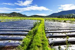Field in Java Royalty Free Stock Photo