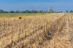 Field with just cropped sunflower in central Ukraine Royalty Free Stock Image