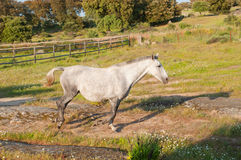 field körande white för den gröna hästen arkivfoto