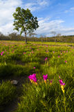 Field Krajeaw Flowers (tulip Thailand). Royalty Free Stock Photo