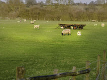 Field of Lambs Red wheeled Trailer Royalty Free Stock Photography