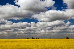 Field landscape. A field of flowering rapeseed in Ukraine Royalty Free Stock Photo