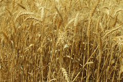 Field landscape. Golden field landscape in Israel Stock Photography